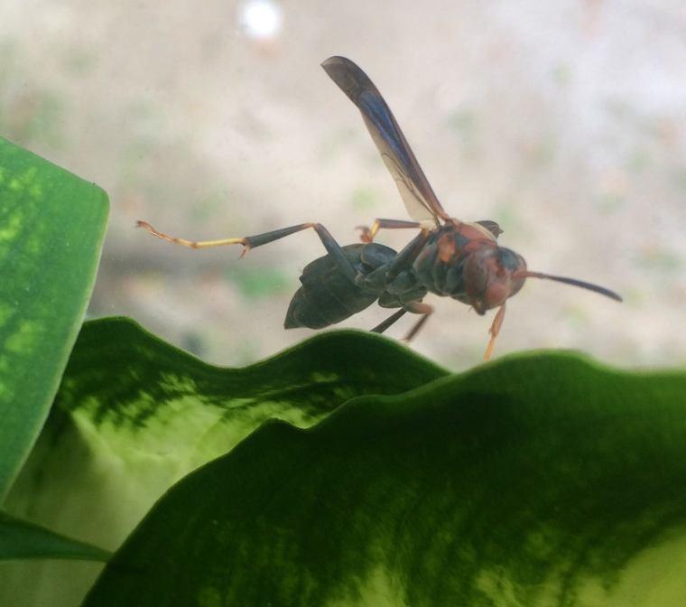 Texas wasp-Texisms-USMexpats.wordpress.com-Texas-Houston-Southeast-Insects